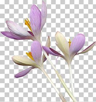 Crocus Flower Purple PNG