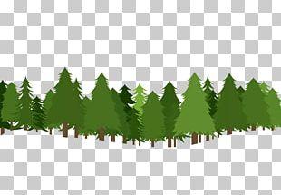 Christmas Tree Pine PNG