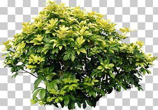 Shrub Acer Ginnala Bougainvillea Glabra Plant Tree PNG