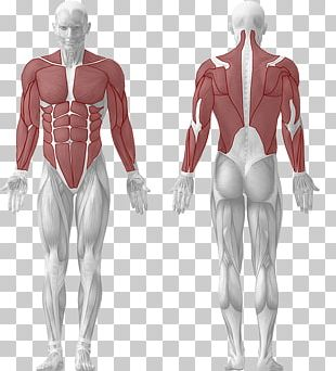 Human Body Muscle Muscular System Human Anatomy PNG