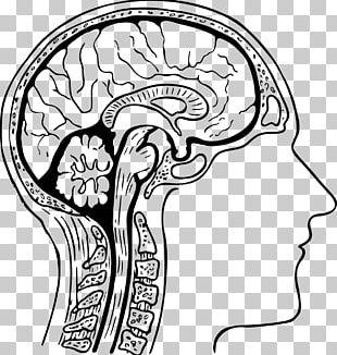Human Head Brain Head And Neck Anatomy Human Body PNG