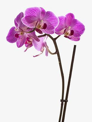 Orchid Flowers PNG