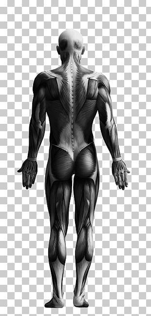 The Skeletal System Human Skeleton Knochen Und Muskeln Skeletal Muscle PNG