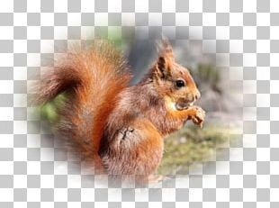 Fox Squirrel Chipmunk Whiskers Snout PNG