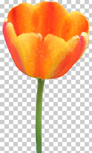 Portable Network Graphics Tulip Computer Icons PNG