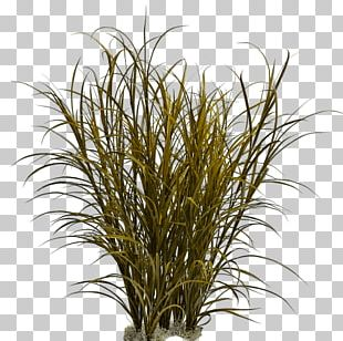 Ornamental Grass Fountain Grass Pennisetum Alopecuroides PNG