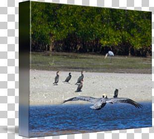 Water Bird Cygnini Goose Water Resources Anatidae PNG