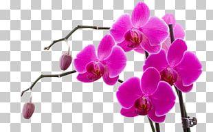 Orchids Doritaenopsis Purple Flower Violet PNG