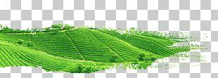 Green Tea Yum Cha White Tea PNG