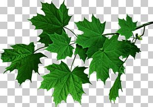 Tree Green Autumn Leaf Color PNG
