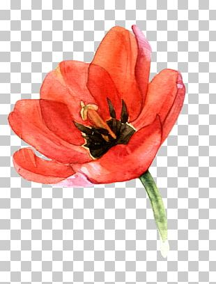 Tulip Watercolor Painting Watercolour Flowers Art PNG