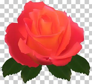 Garden Roses Centifolia Roses Flower Rose Garden PNG