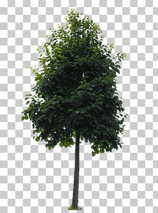Branch Tree Oak Lindens Shrub PNG