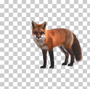 Arctic Fox Red Fox PNG