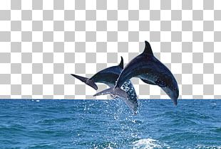 Bottlenose Dolphin Sea PNG