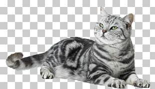 American Shorthair Malayan Cat European Shorthair Dragon Li American Wirehair PNG