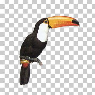 Toucan Parrot Bird PNG
