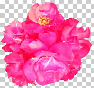 Garden Roses Cabbage Rose Cut Flowers Peony Petal PNG