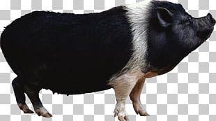 Domestic Pig Portable Network Graphics Desktop PNG