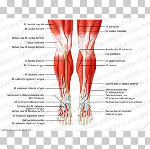 Knee Human Anatomy Human Body Muscular System PNG