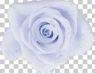 Garden Roses Cabbage Rose Blue Rose Cut Flowers Petal PNG