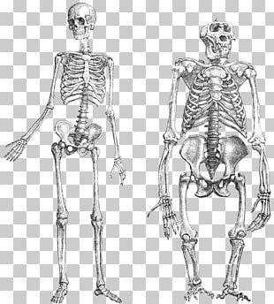 Chimpanzee Gorilla Primate Neandertal Human Skeleton PNG