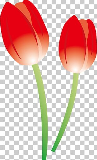 Tulip Flowers. PNG