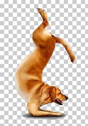 Chihuahua Yoga Dogs Doga Adho Mukha śvānāsana PNG