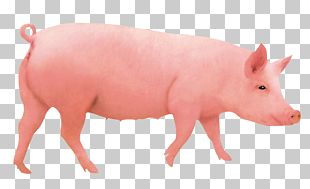 Domestic Pig Pigs Ear Hogs And Pigs Computer File PNG