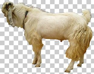 Jamnapari Goat Boer Goat Sheep Goat Farming Beef Cattle PNG