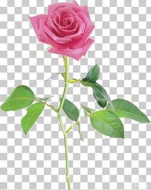Beach Rose China Rose Petal Flower Multiflora Rose PNG