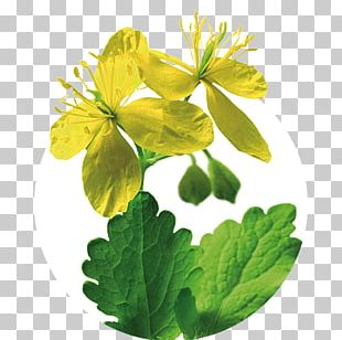 Greater Celandine Iberogast Herb Therapy Medicinal Plants PNG
