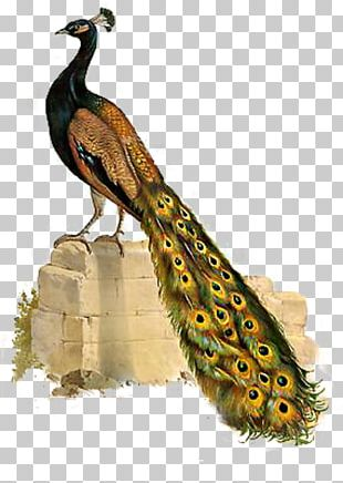 Bird Asiatic Peafowl Phasianidae PNG