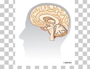Human Brain Hippocampus Agy Neuron PNG