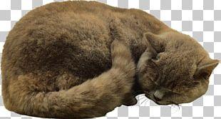 Cat Felidae Kitten PNG