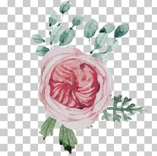 Garden Roses Cabbage Rose Flower Rainbow Rose Pink PNG