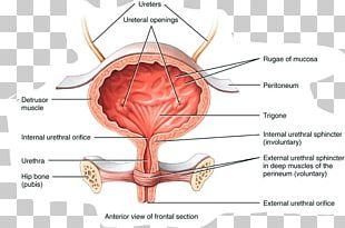 Urinary Bladder Anatomy Excretory System Urine Autonomic Nervous System PNG