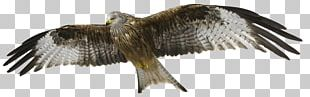 Red Kite Bird Of Prey Bald Eagle PNG