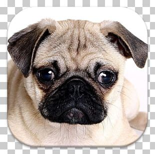 Pug Puppy Chinese Imperial Dog English Mastiff Dog Breed PNG