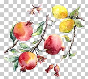 Watercolor Painting Pomegranate Drawing PNG