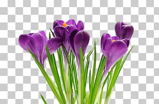 Southminster United Church Crocus Spring Flower Primăvara PNG