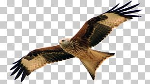 Hawk Buzzard Red Kite Organisationsberatung Coaching PNG