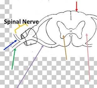 Ventral Root Of Spinal Nerve Anatomy Dorsal Root Ganglion Spinal Cord PNG