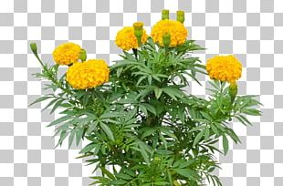 Mexican Marigold Tagetes Lucida Mexican Sunflower PNG