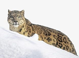 Snow Leopard On The Snow PNG