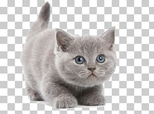 British Shorthair Abyssinian Kitten PNG