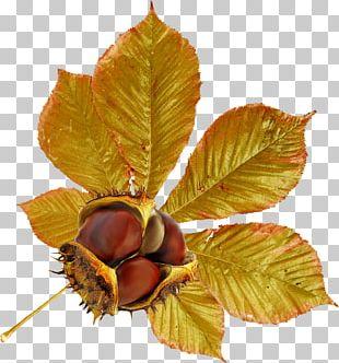 Chestnut Leaf Autumn PNG
