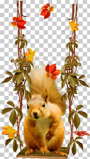 Raccoon Tree Squirrel American Red Squirrel Rodent PNG