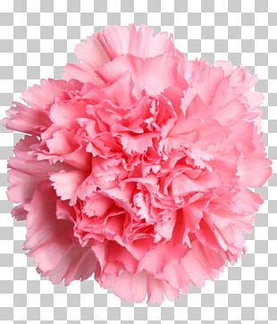 Carnation Cut Flowers Mother's Day Rose PNG