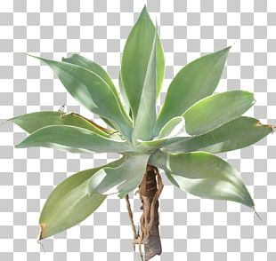 Agave Azul Texture Mapping 3D Computer Graphics PNG